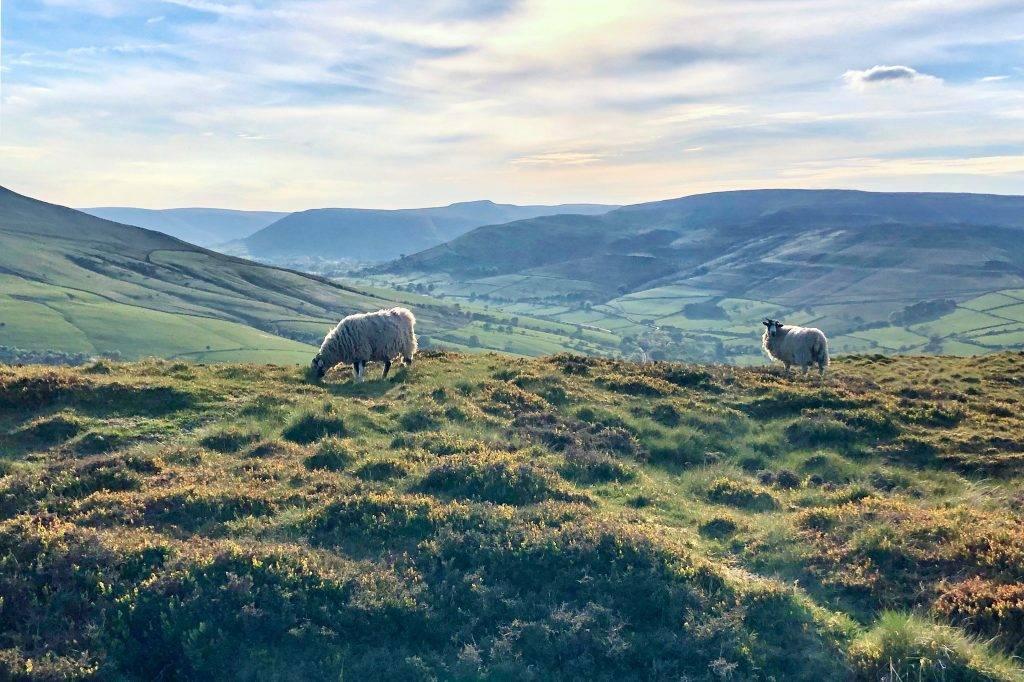Hope sheep