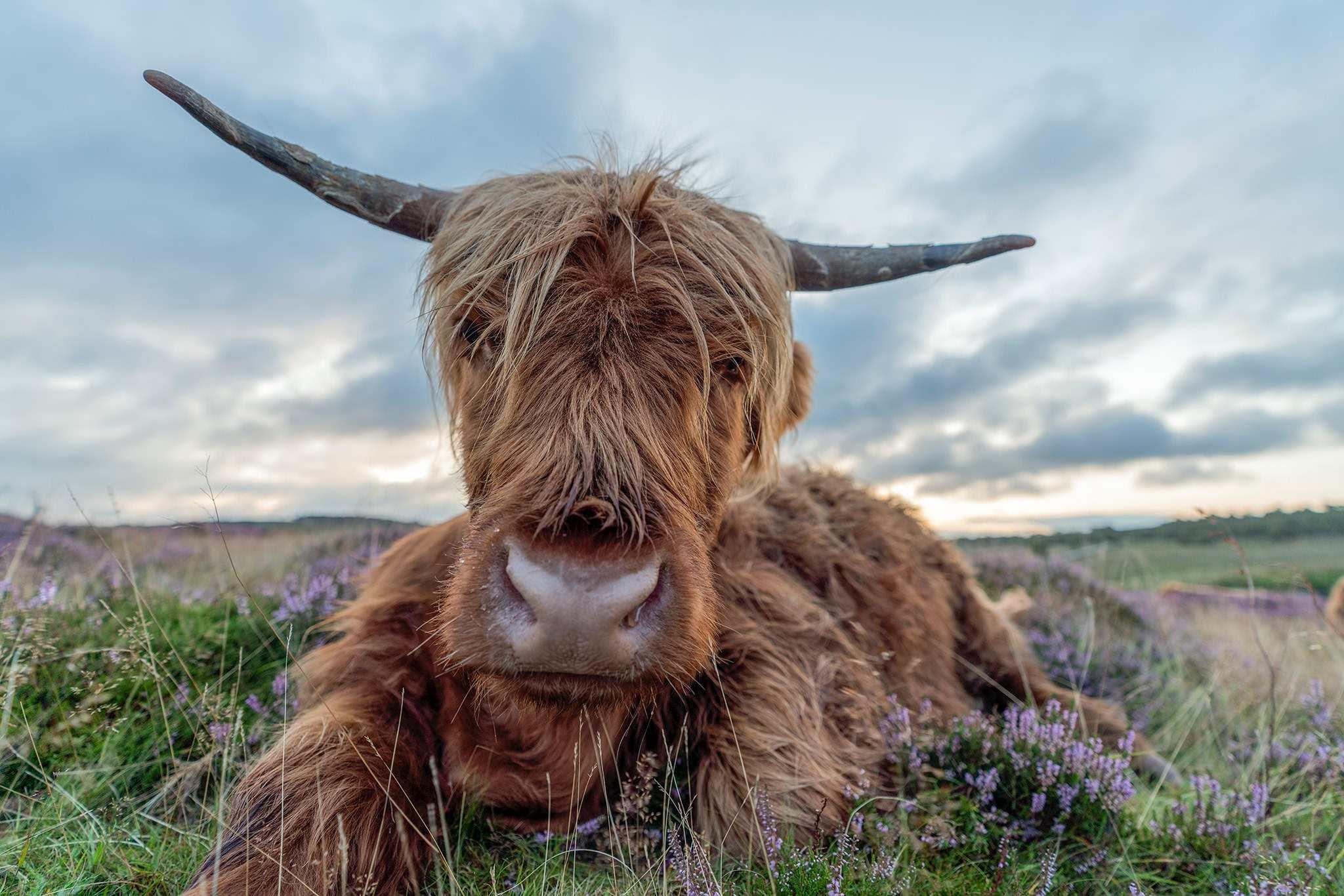 Highland Cow Baslow Edge