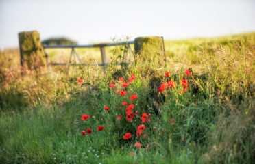Peak District News : Summer Poppies