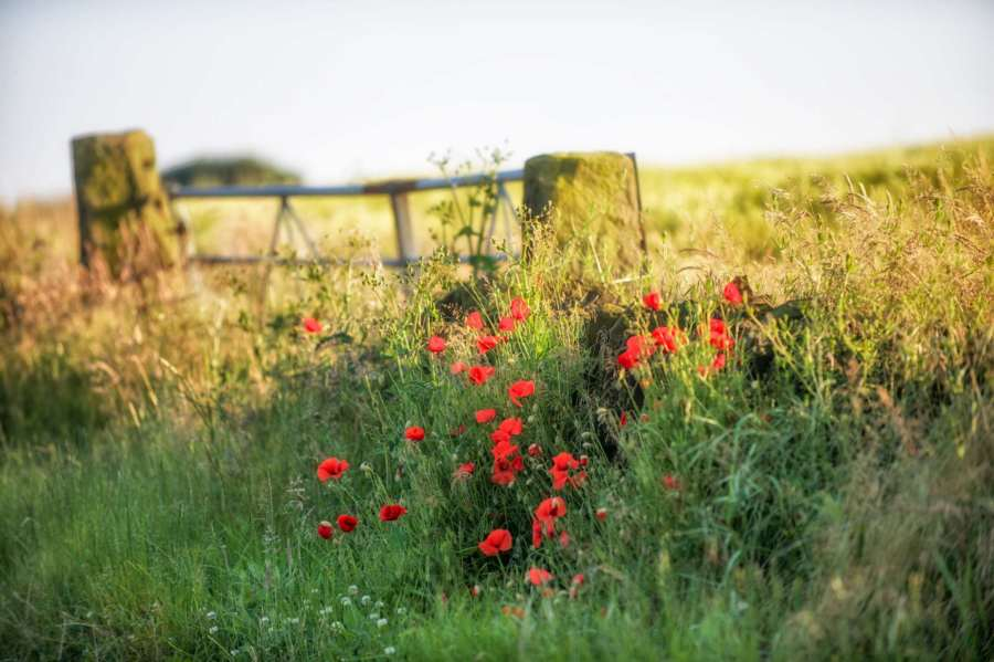 Peak District News : Summer Poppies